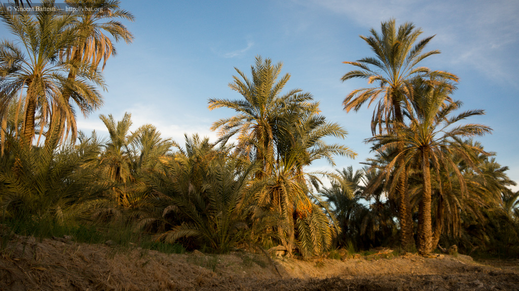 Palm grove of Siwa oasis, Egypt (© Vincent Battesti)